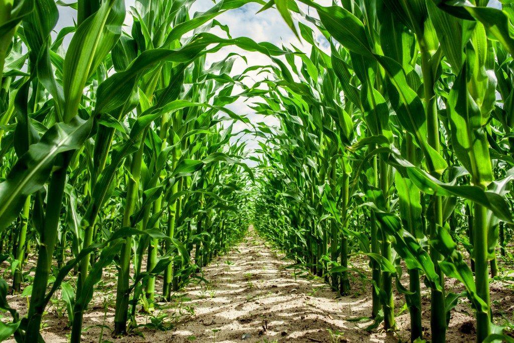 farm crop